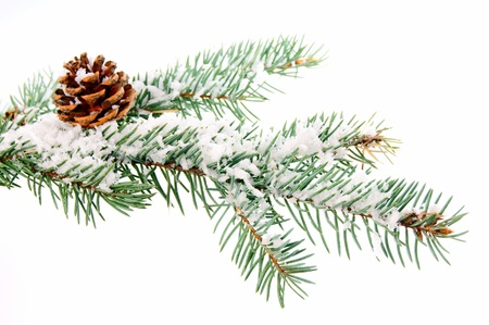 pine branch in winter