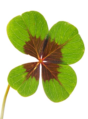 four leaved: lucky clover
