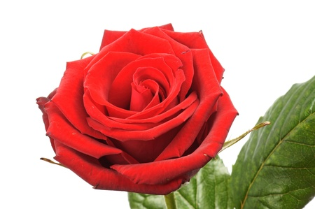 red Rose over a white background