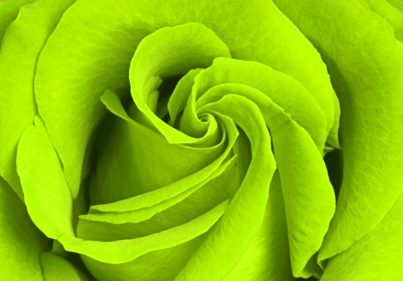 beautiful green rose