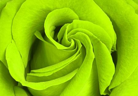 flores de cumplea�os: hermosa rosa verde