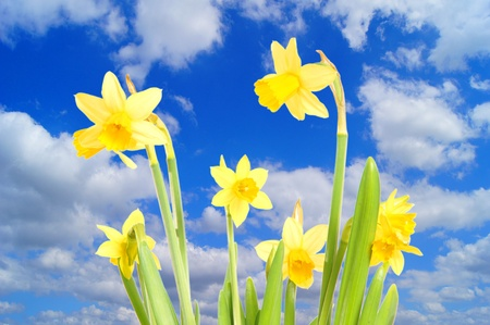 Daffodil and blue sky with clous photo