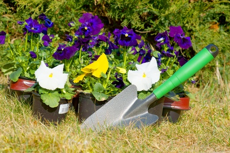 Pansy and shovel photo