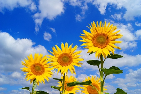 Sunflower and blue sky with clouds photo