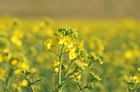 rapeseed field photo