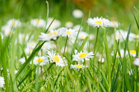 Daisy and green grass
