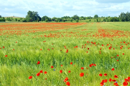 poppies Stock Photo - 13993974