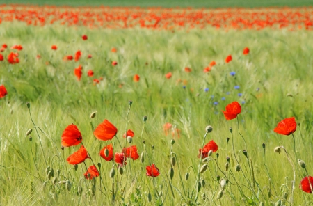 poppies                Stock Photo - 13993972