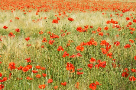 flower meadow with poppies Stock Photo - 14193717