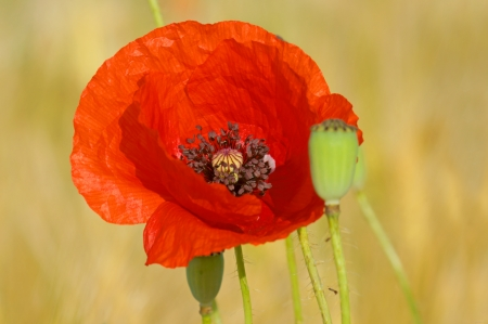 beautiful poppy Stock Photo - 14193709