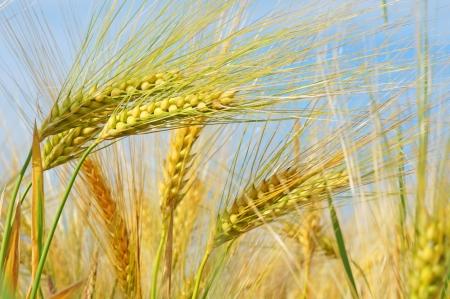 oat plant: barley field