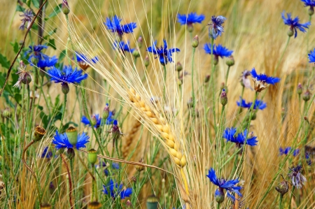 Barley grain and flowers Stock Photo - 14193735