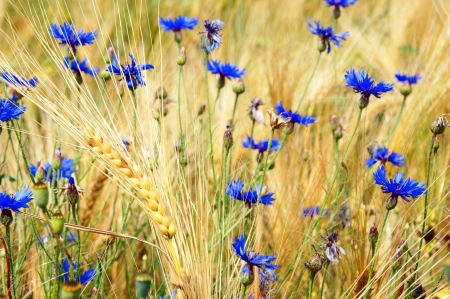 Barley grain and flowers photo