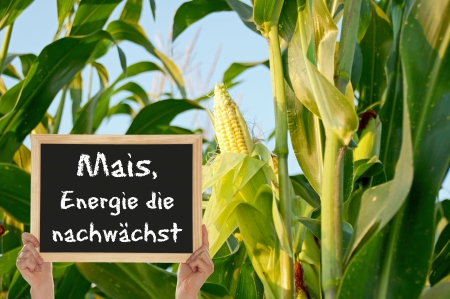 Corn, the energy grows Stock Photo - 14458760