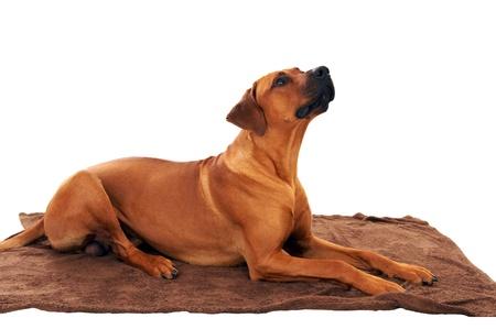 rhodesian: Dog - rhodesian ridgeback