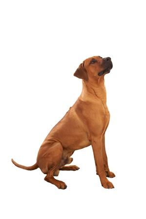 Dog - rhodesian ridgeback