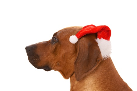 rudely: Christmas Dog with Santa Hat