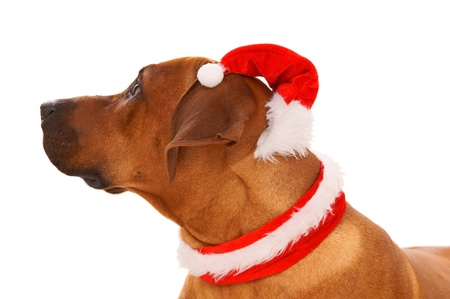 Christmas Dog with Santa Hat photo