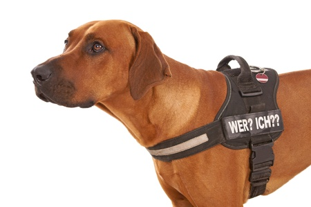 rudely: Dog with a dog harness