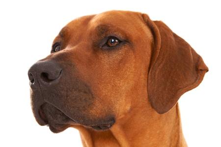 rudely: Dog - rhodesian ridgeback