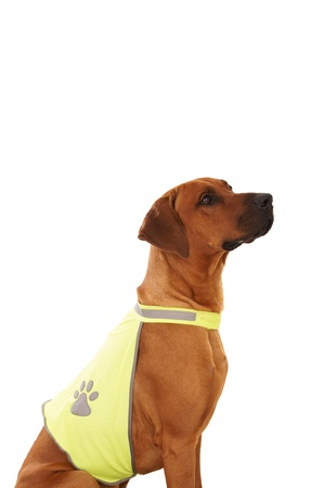 rudely: rhodesian ridgeback with vest Stock Photo
