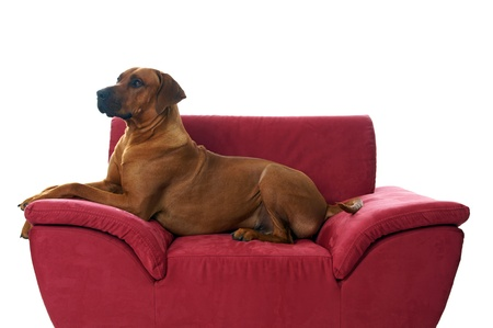 rhodesian ridgeback lying on the couch Stock Photo - 16639398