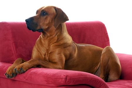 rudely: rhodesian ridgeback lying on the couch Stock Photo