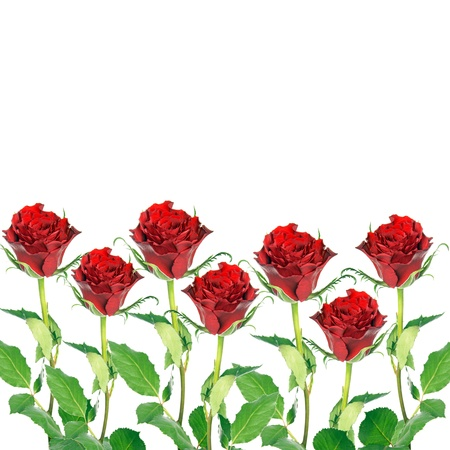 red roses background Stock Photo - 18034624
