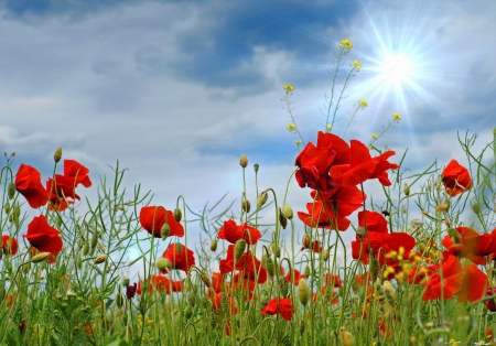 Poppies and a blue sky with sun