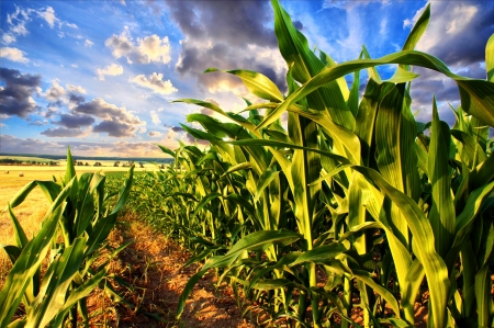 planta de maiz: Campo de maíz y cielo con nubes hermosas