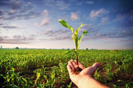 mazorca de maiz: Mano que sostiene una planta de ma�z