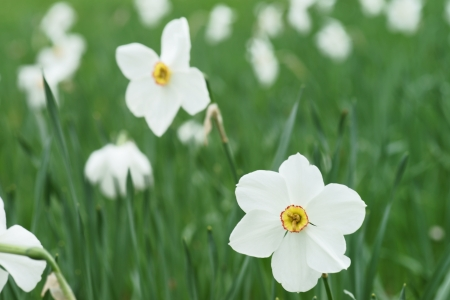 vernal: Daffodils on a meadow Stock Photo