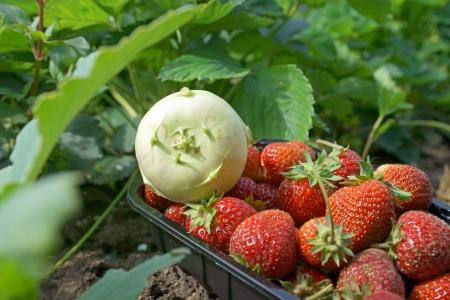 Kohlrabi and strawberries Stock Photo - 20867490