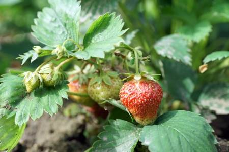 strawberry plant in a garden Stock Photo - 20867494