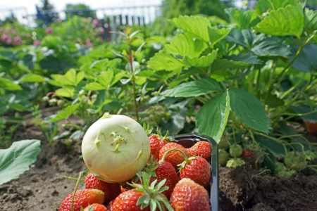 Kohlrabi and strawberries in a garden Stock Photo - 20849598