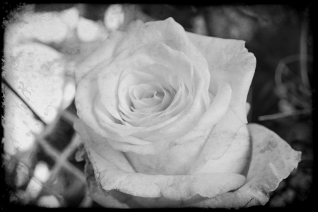 love proof: white rose in black and white vignette