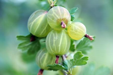 gooseberry bush: uva spina su un cespuglio