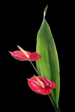 flamingo flower isolated over a black background photo