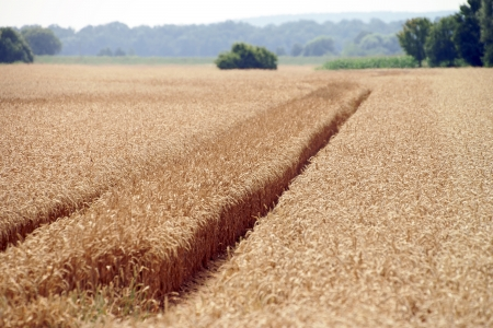 Wheat field with tractor tracks photo