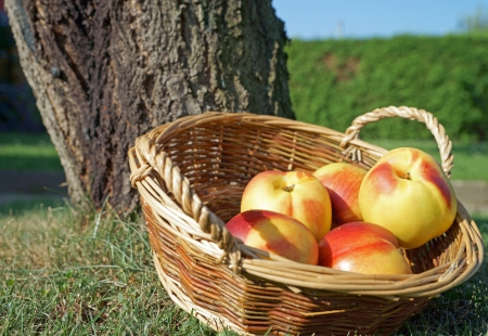 nectarines in a basket photo
