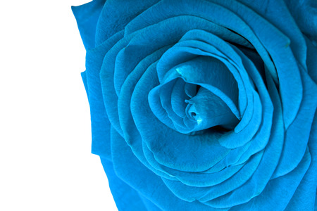 love proof: blue rose isolatedn over a white background
