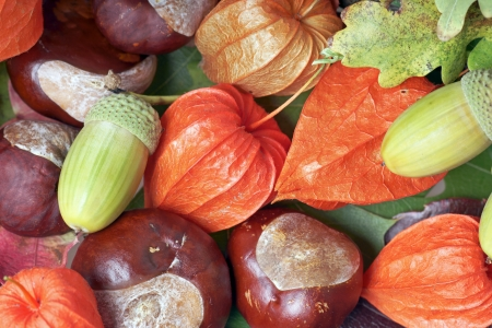 Acorns and chestnuts with Chinese lantern plant photo