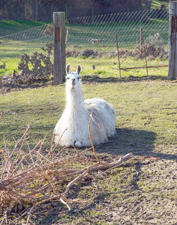 enclosure: Lama in an enclosure