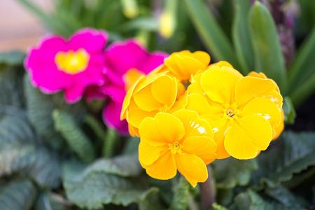 primroses: beautiful Primroses in the garden Stock Photo