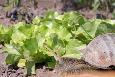 Salad Plant and big snail in a garden photo