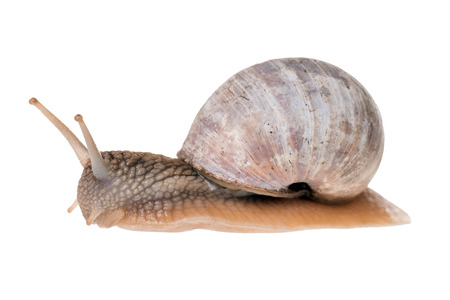 exempted: Garden snail isolated over a white background