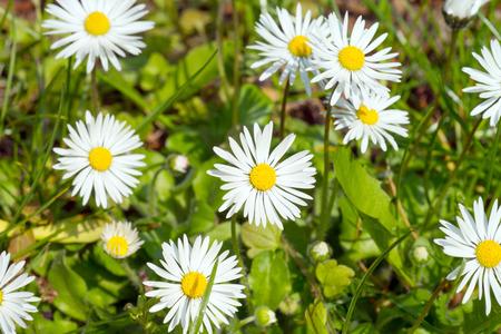 flowerpower: Marguerites in a garden Stock Photo