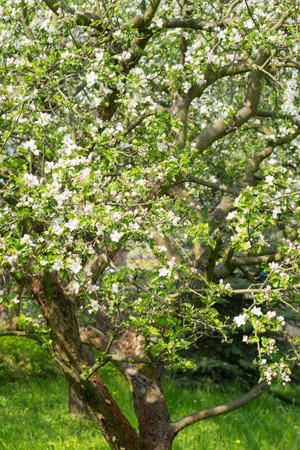 arbre fruitier: la floraison des arbres fruitiers au printemps Banque d'images