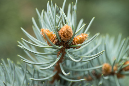 pine branch: Close up of a pine branch