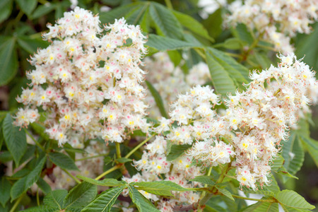 chestnut tree: Blossoms of a chestnut tree Stock Photo